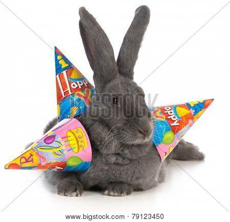 birthday bunny - giant flemish rabbit wearing three birthday hats on white background