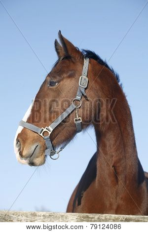 Portrait Of Nice Purebred Horse Winter Corral Rural Scene