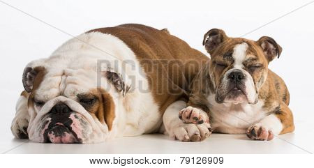 bulldog father and daughter laying down on white background - 5 years and 4 months old