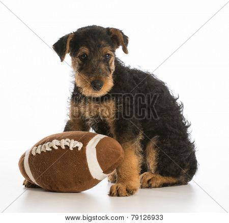 cute puppy with a stuffed ball - airedale terrier