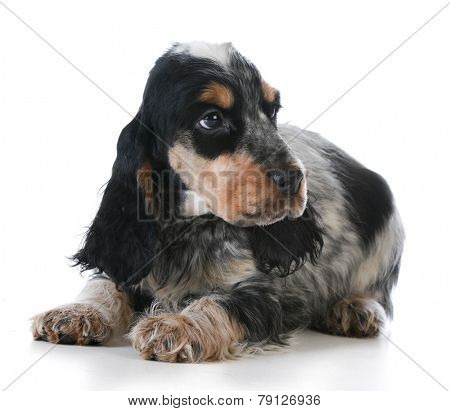 cute puppy - english cocker spaniel puppy  laying down on white background