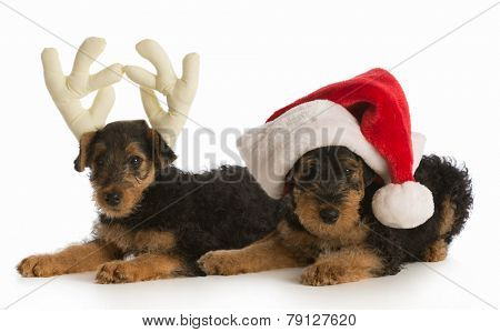 christmas puppies - airedale terrier puppies dressed up like santa and rudolph on white background