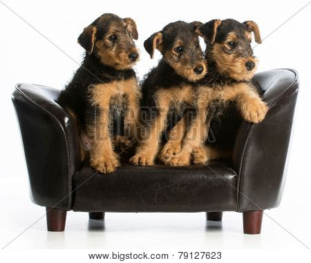 airedale terrier litter sitting on a dog couch on white background
