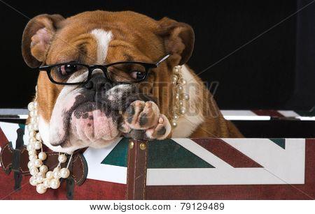 english bulldog in a british flag crate