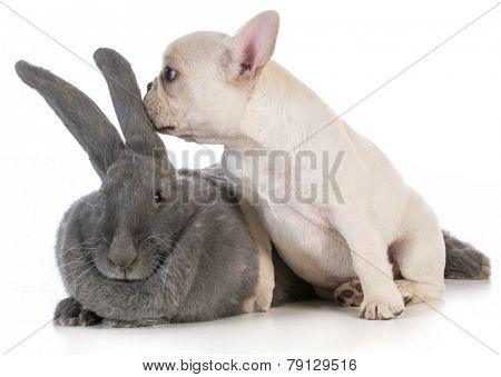 french bulldog puppy whispering secret to flemish bunny on white background