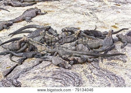 A Group Of Marine Iguanas On Shore