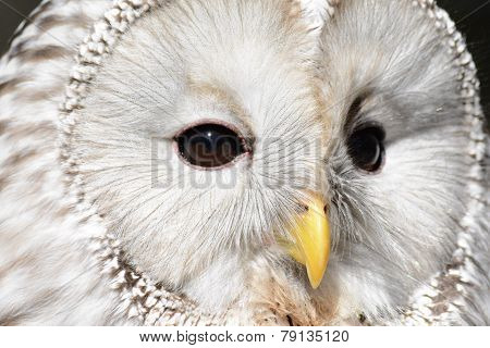 Face of a ural owl