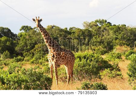 An African Giraffe(Giraffa camelopardalis) on the Masai Mara National Reserve safari in southwestern Kenya.
