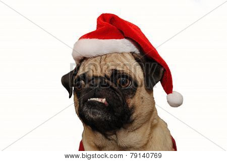 Funny Faced Pug Wearing A Santa Hat Over White