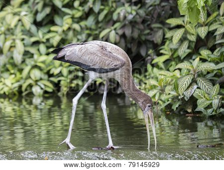 Juvenile Yellow Billed Stork