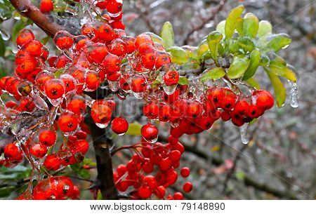 Branch Of A Bush With Bright Berries After Freezing Rain