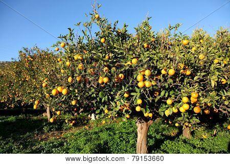 Orange Trees In Crete