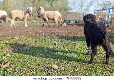 Dog And Sheep