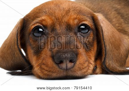 Close-up Dachshund Puppy