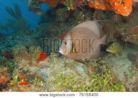 Gray Angelfish On A Coral Reef - Roatan