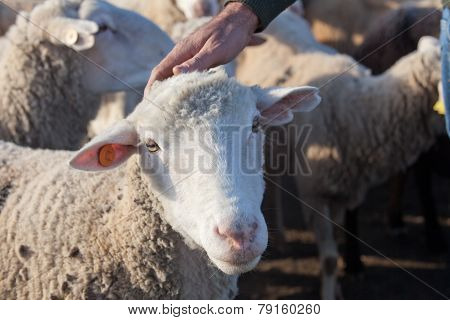 Shepherd Caress
