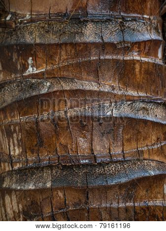 Detail of a Coconut palm (Arecaceae - Cocos nucifera) trunk