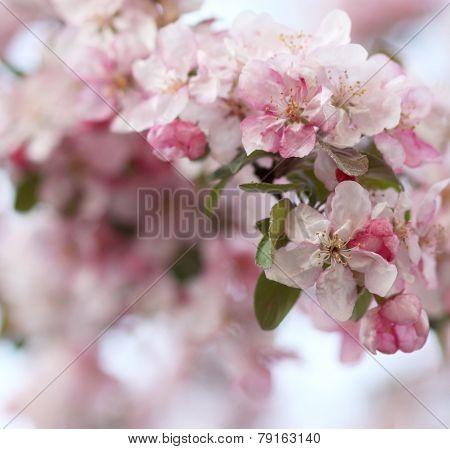 Pink Apple Tree Flowers