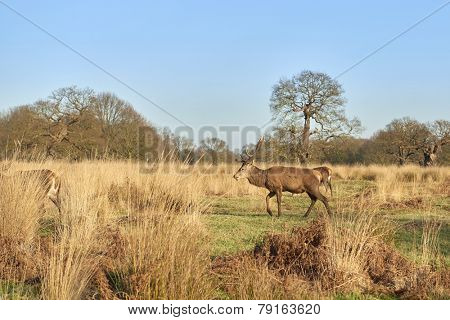 Red deer walking in autumnal park in late afternoon light.