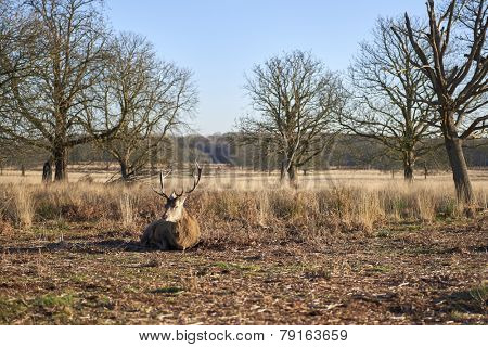 Red deer lying on ground in autumnal park in late afternoon light.
