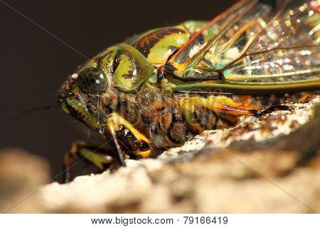 Cicada Macro Portrait