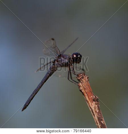 Black Headed Dragonfly