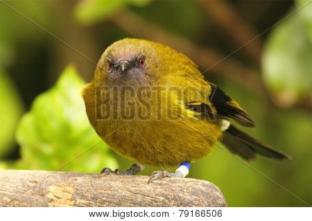 Bellbird Leaning Forward