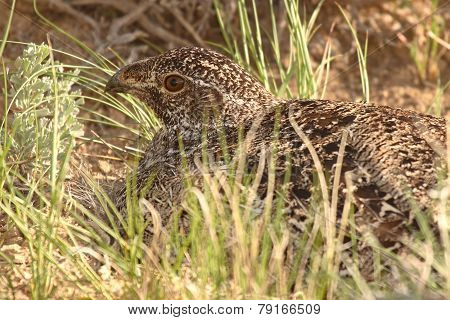 Sage Grouse On Nest
