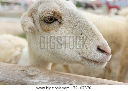 Sheep Portait