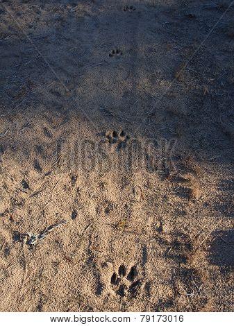 Dog Footprints In Sand On Woodland Road