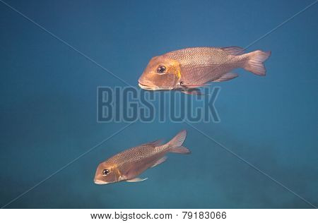 Humpnose big-eye bream