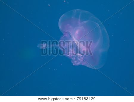 Saucer jelly