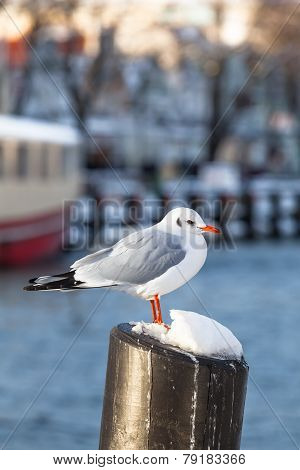 Harbor Seagull in Winter
