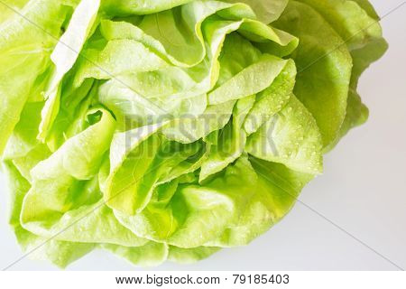 Butterhead Hydroponic Vegetable Up Close