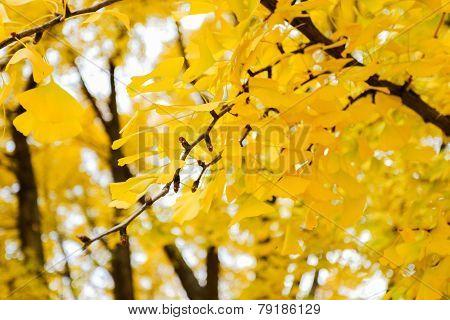 Golden Ginkgo