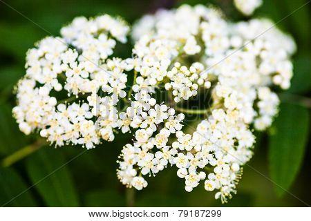 White Rowan Flowers