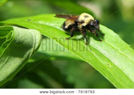 Robber Fly - Bumblebee Mimic