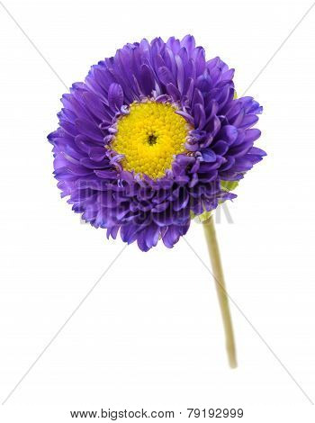 Purple Mum Flower