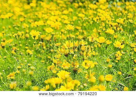Buttercup Meadow In Flower Garden