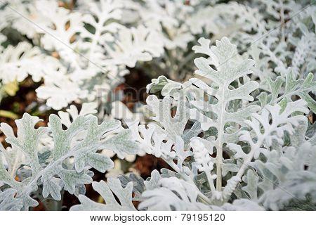 Gray Leaf Of Dusty Miller