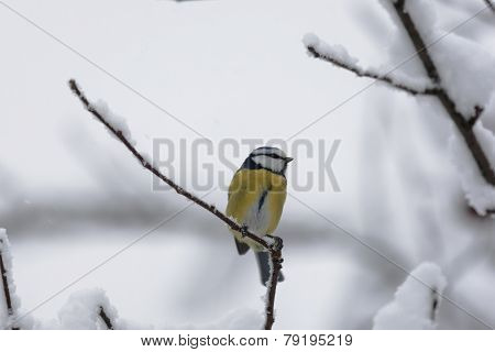 Blue tit on a branch