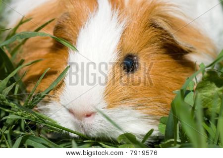 Cavy  In A Grass