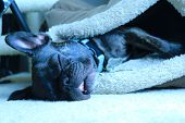 foto of tongue  - Adorable brindle french bulldog sleeping and snoring with her mouth open and tongue visible while her head lies outside her comfortable dog bed - JPG