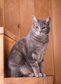 stock photo of blue tabby  - Blue tabby cat sitting on rustic wooden steps - JPG