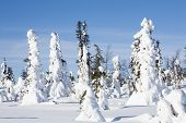pic of laplander  - Trees covered with snow in Finnish Lapland - JPG