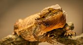 foto of giant lizard  - A slightly overweight German Giant bearded dragon warms himself close to his warming lamp - JPG