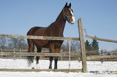 image of thoroughbred  - Thoroughbred saddle horse looking overthe corral fence - JPG
