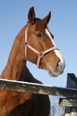foto of thoroughbred  - Headshot of a beautiful thoroughbred horse in winter pinfold under blue sky - JPG