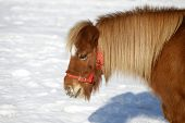 picture of pony  - Head shot of a beautiful pony horse on a beautiful sunny day winter time - JPG