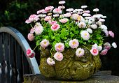 stock photo of pot-bellied  - White and pink bellis perennis in stone pot